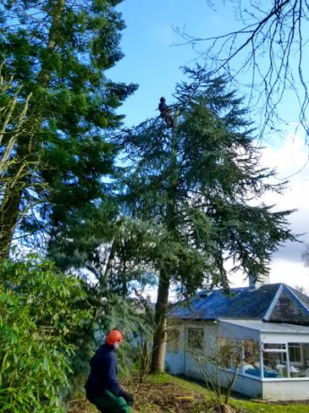 tree-surgeon-felling